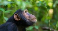 Chimpanzee - Uganda (slide)