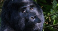 Mountain Gorilla - Uganda (Slide)