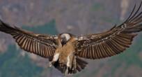 Egyptian Vulture - Ethiopia (slide)
