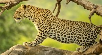 Leopard - Uganda (slide)