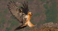 Wildlife-Observations-Worldwide-Ethiopia-Barthgeier landet 1 (1 von 1) Kopie