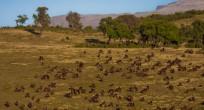 Gelada Baboon - Ethiopia (slide)