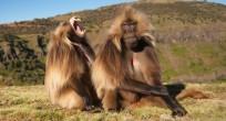 Gelada Baboon - Ethiopia