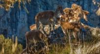 Walia Ibex and Gelada Baboon- Ethiopia