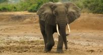 African Forest Elephant - Uganda