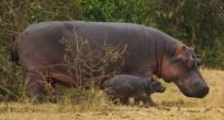Hyppopotamus - Uganda