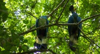 Great Blue Turaco - Uganda