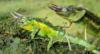 Wildlife-Observations-Worldwide_Chameleon_001