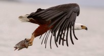 Wildlife-Observations-Worldwide_Eagle_001