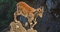 Walia Ibex - Ethiopia