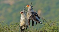 Secretarybird - Ethiopia
