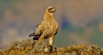 Tawny Eagle - Ethiopia