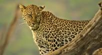 Leopard - Uganda