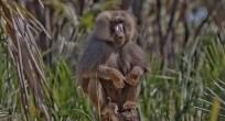 Hamadryas Baboon - Ethiopia
