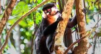 Red-tailed Monkey - Uganda