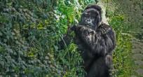 Mountain Gorilla - Uganda