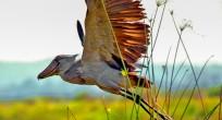 Shoebill - Uganda